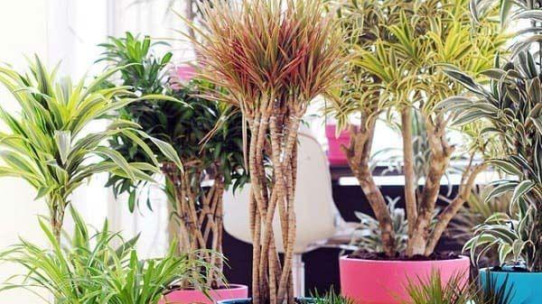 Le dracaena, une plante dépolluante d'appartement #ninavegetal #dracaena #plantesvertes #plantegrasse #nature