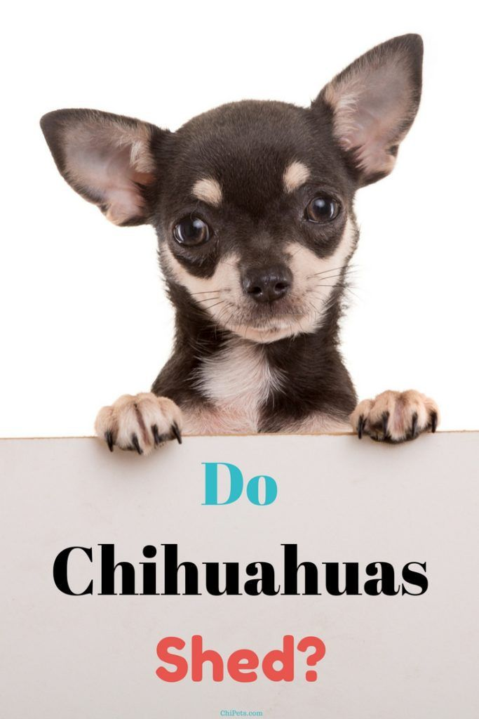 Do Chihuahuas Shed Chihuahua Facts Chihuahua Puppies Kitties