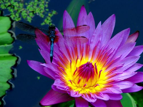Blue DragonFly on a Neon Flower by dlco4, via Flickr ...