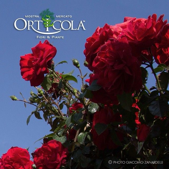 #italian Climbing Red #Roses #MadeinItaly