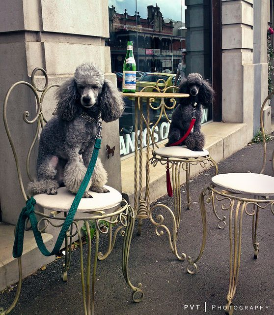 Poodles demand better table service at a cafe in Daylesford! #dogs #poodles
