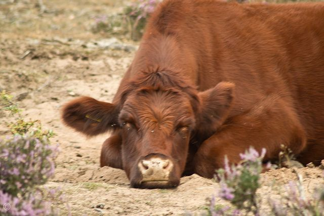 1000 images about Cows on Pinterest