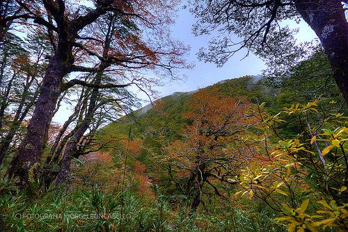 Bosque  -  P.N. Puyehue ( Patagonia - Chile)