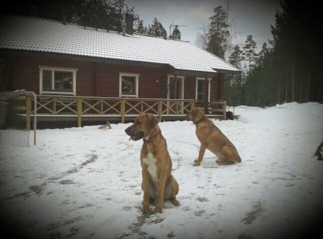 Two broholmer boys guarding their yard. (Baloo and Nalle) ♥