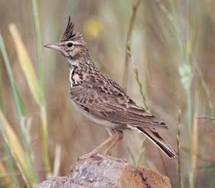 Artikel yang membahas mengenai burung branjangan, ciri-ciri branjangandari asalnya, cara membedakan Burung Branjangan Jantan Dan Betina.
