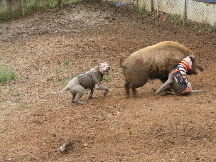 Le scandale de la chasse en enclos en France. En France, certains chasseurs ont inventé un nouveau « divertissement » : ils lâchent un sanglier et des dogues argentins dans un enclos et regardent le premier se faire dévorer vivant par les seconds… L'Aspas (Association pour la Protection des Animaux Sauvages) a porté plainte.