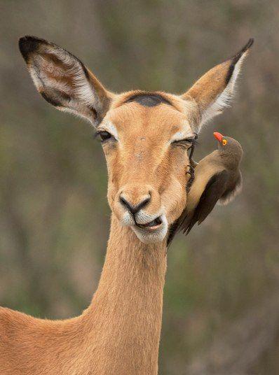Волоклюй ищет паразитов на шкуре импалы в Национальном парке Крюгера в ЮАР