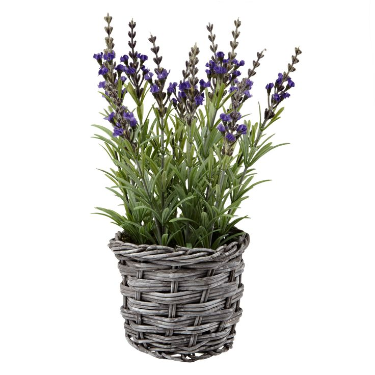 Lavender in Wicker Pot, £22, John Lewis