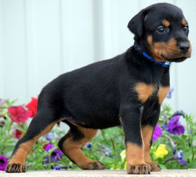 Female doberman puppy for sale in USA. European bloodlines. Born May 24, 2017