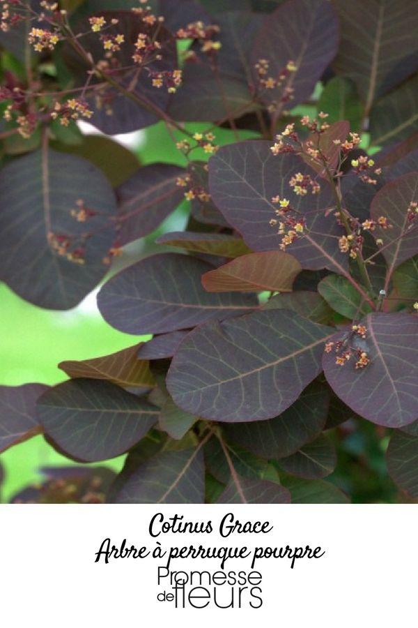 Le Cotinus 'Grace' ou Arbre à perruque est un petit arbuste au feuillage caduc remarquable pour sa couleur rouge intense à pourpré.