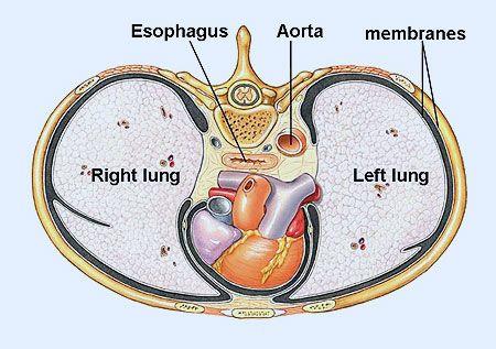 pulmones, esfófago, ahora, plano sagital