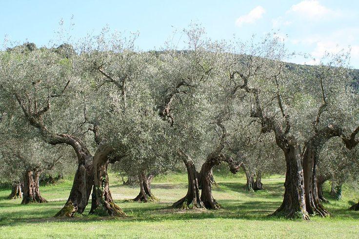 Olivenbäume Umbrien - Олива европейская — Википедия
