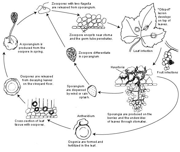 Plasmopara viticola Disease Cycle