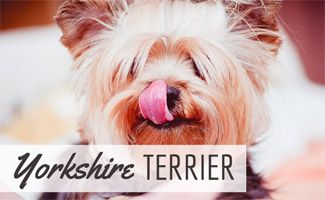 Looking for a small family friendly dog that's fairly low maintenance? Read about the Yorkshire Terrier and learn why it's the 9th most popular dog breed.