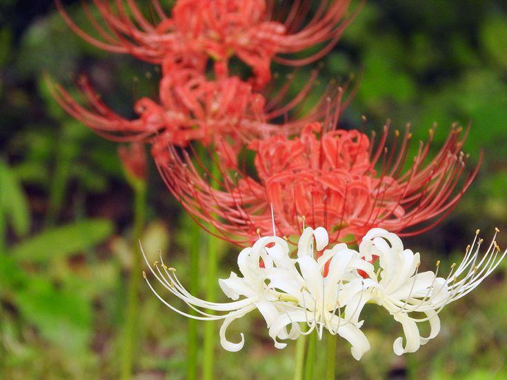 彼岸花が満開、雪国植物園でタヌキも登場【雪国植物園:新潟県】