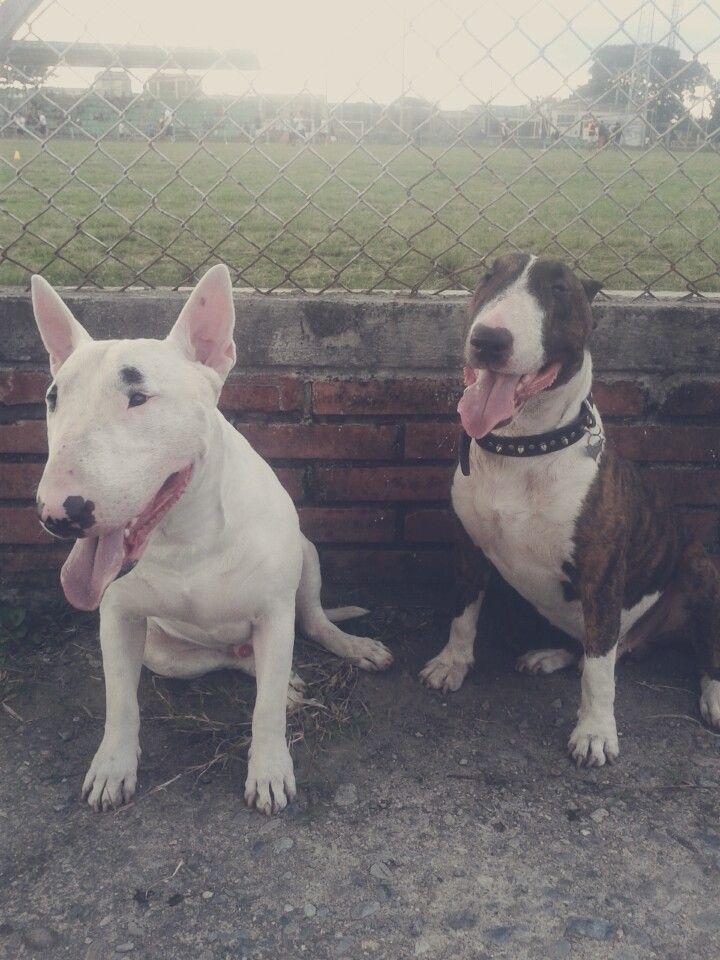 #BullTerrier #Compañia