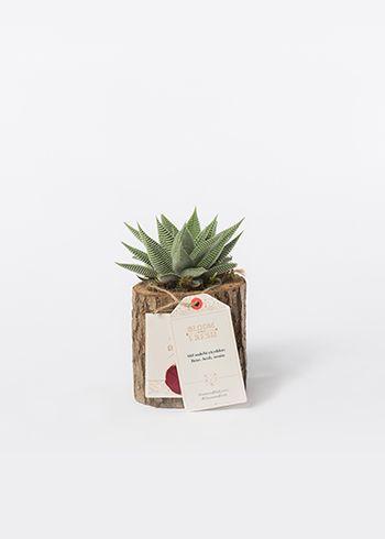 LILLIPUT | Haworthia spider white succulent, yosun. | Bloom and Fresh