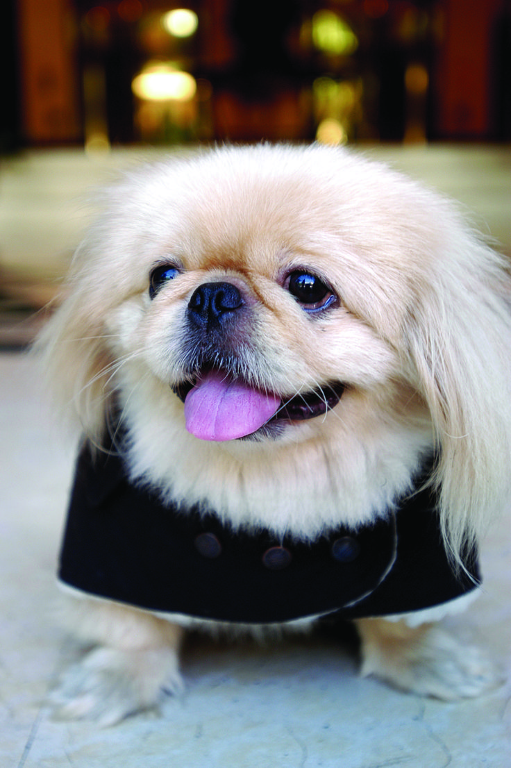 "Click visit site and Check out Best ""Pekingeses"" T-shirts. This website is top-notch. Tip: You can search ""your name"" or ""your favorite shirts"" at search bar on the top."