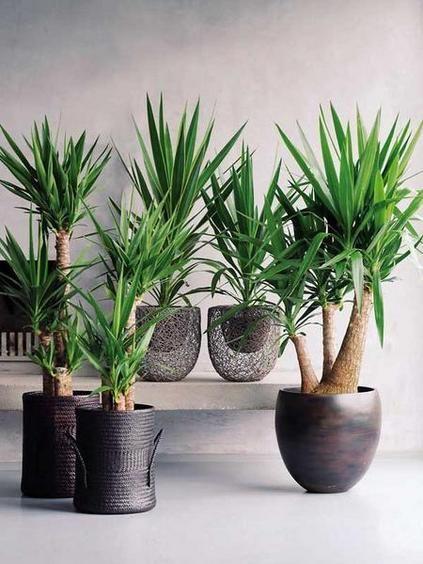 Yuccas wirken auch gut in massiven Töpfen in Metallic-Optik. #pflanzenfreude