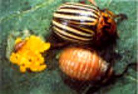 Coloradokever  Het haantje, waarvan zowel de larven als de volwassen kevers bladeters zijn, kan in een paar weken tijd een aardappelveld gans kaal vreten, dat komt door de bijzonder korte levenscyclus, tussen  eilegging en verpopping, er  is hier sprake van  een periode van  3 – 4 weken. Een volwassen vrouwtje kan tot 500 ggen. Komt uit Amerika  leeft in een  gebied aan de Colorado-rivier,