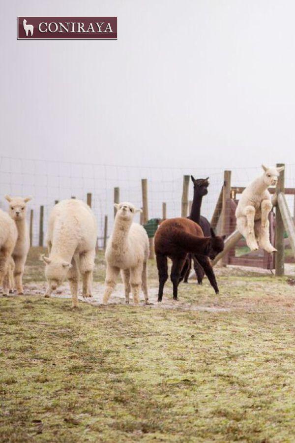 Jump, jump! Higher! #alpacas #coniraya #alpakino #alpaca #farm #jump