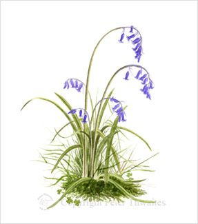 Wild Bluebells, watercolour painting by Peter Thwaites