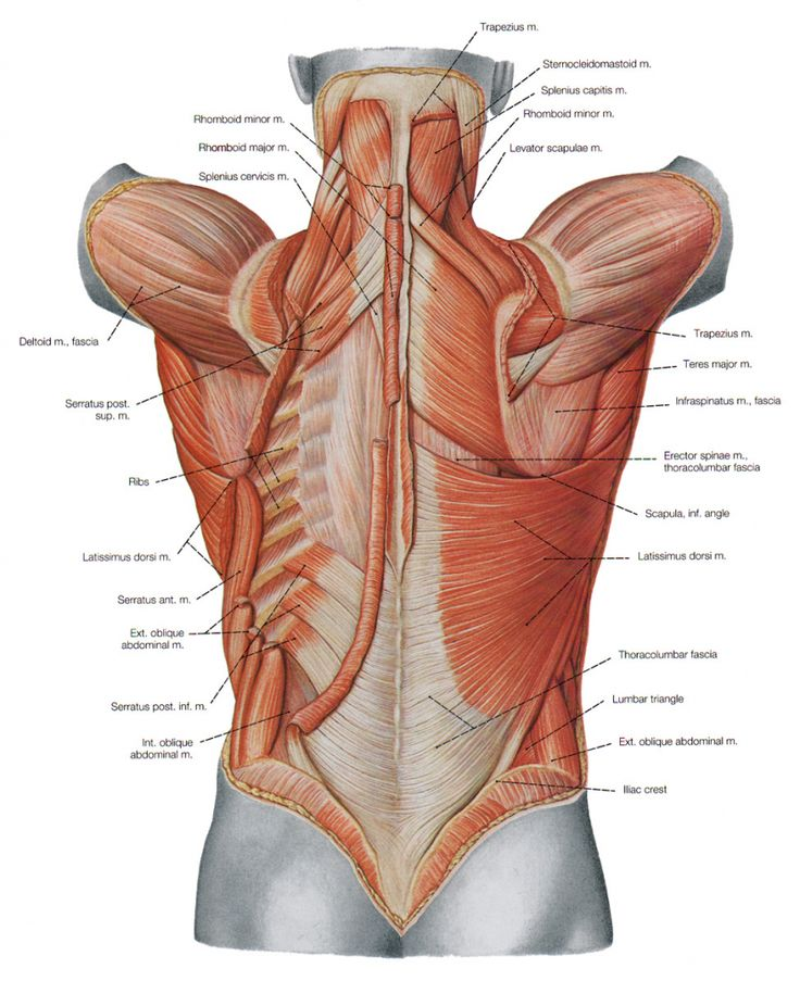 Human Shoulder Muscle Diagram Upper Back Muscle Diagram