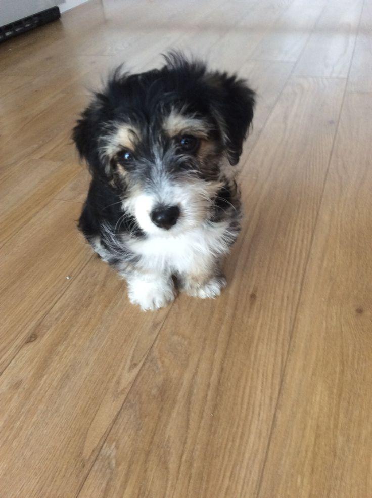 My Gorgeous Jackapoo Puppy Trevor Xxx  My Gorgeous -9252