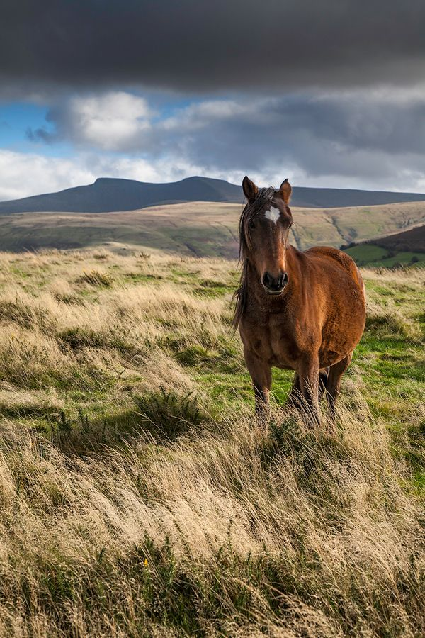 A Welsh mountain pony on the Brecon Beacons South Wales