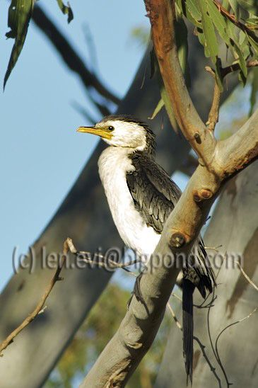 Pied Cormorant visiting
