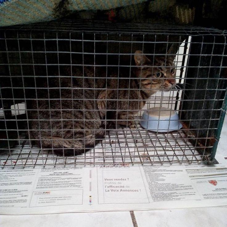 https://flic.kr/p/TbtaaW | Trappe femelle n°1 pour stérilisation en partenariat avec l'école des chats de Roubaix #action4pets #actionforpets #association #sterilisation #edcroubaix