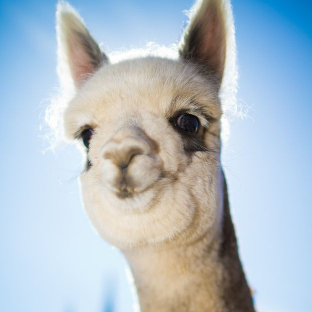 Alpaca smile. Or is he about to spit in your eye? You'd care more if he wasn't freakin' adorable.