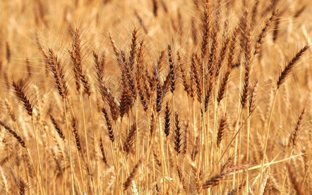 Montana wheat is setting the wrong kind of records as grain prices continue to fall nationally.  May wheat prices are now at a five-year low, which could push gross receipts for Montana grain below $1 billion for the first time in several years. Cash prices for hard red winter wheat have been below $5 a bushel. On Monday, the lowest per bushel price offered was $3.92 in southeast Montana. Spring wheat prices were still in the $6 range for the best-quality product.