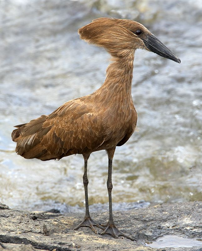 Hamerkop — Kruger Nat'l. Park in South Africa