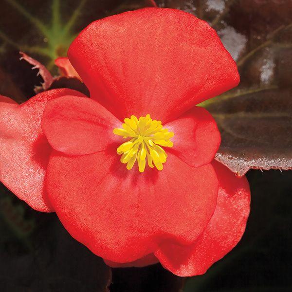 Bada Boom Scarlet Wax Begonia Flower Seeds Annual Flowers Begonia