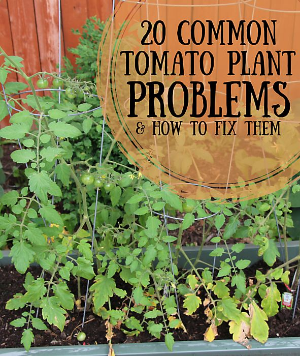 Check out our most popular article: 20 tomato plant problems and how to fix them: