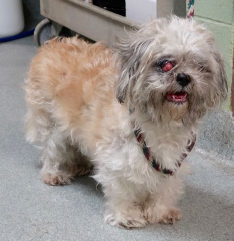 SUPER URGENT Manhattan Center BELLE – A1092247 FEMALE, TAN / GRAY, SHIH TZU MIX, 10 yrs STRAY – STRAY WAIT, NO HOLD Reason STRAY Intake condition GERIATRIC Intake Date 10/03/2016, From NY 10035, DueOut Date10/06/2016
