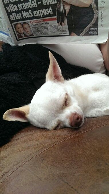 Join jamie on facebook Jamie a little white chihuahua ALL pets welcomed!!!!!