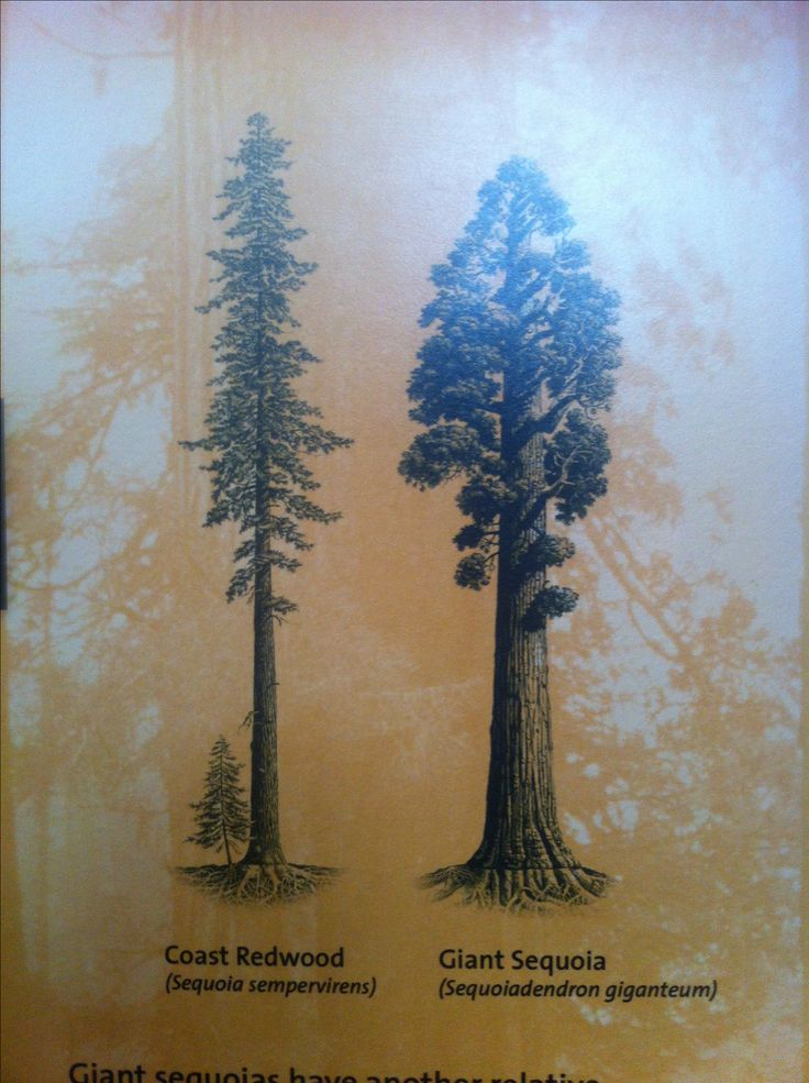 Sequoia and Redwood