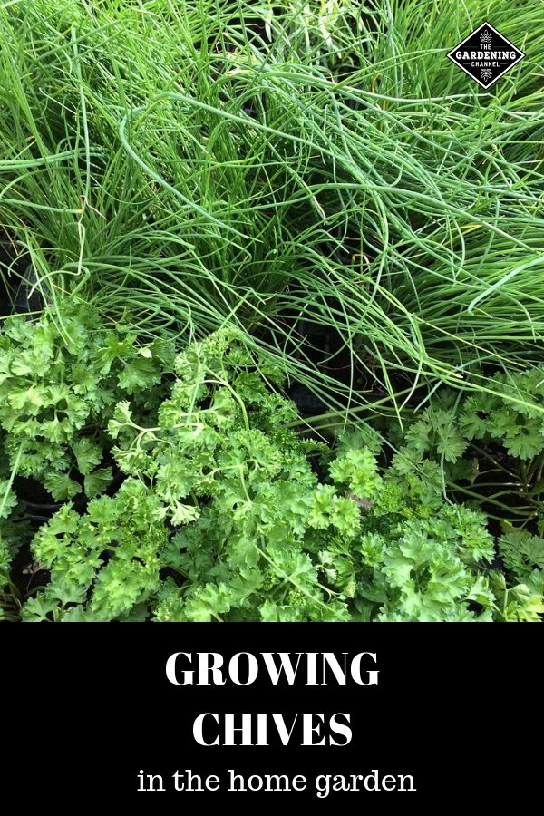 How To Grow Chives Growing Chives Container Gardening Vegetables Container Gardening
