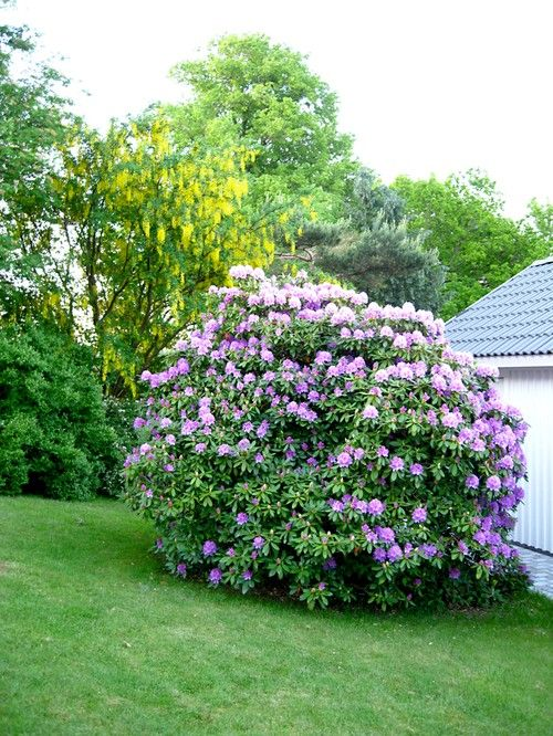 60 years old rhododendron