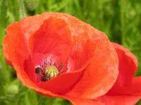 flores y colores :D: Tipos de flores y sus significados-amapola