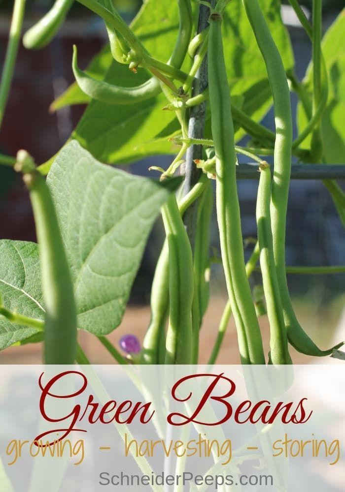 Growing Green Beans Organically Growing Green Beans Green Beans Growing Greens