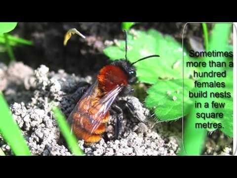 Tawny mining bee   bee box   honey & bee