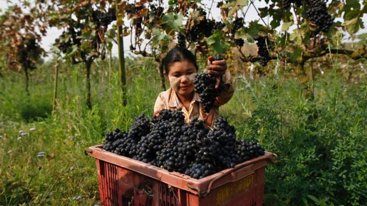 In this Saturday, March 12, 2016 photo, a worker collects grapes in a plastic bin at Aythaya wine estate in Aythaya, near Taunggyi, the capital of northeastern Shan state, Myanmar. Gutsy German entrepreneur Bert Morsbach started Myanmar's first winery and now is harvesting the rewards. Consumption is set to soar with the growth of the country's middle class. His next game plan: to root a wine culture in the tropical, Southeast Asian nation, and make the best white wine in Asia. (AP…