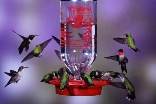 Hummingbird Nectar Recipe  1 part sugar/4 parts water  Boil the water first, then measure and add sugar, at the rate of 1/4 cup of sugar to 1 cup of water.    Let cool and store excess in refrigerator until ready to use.    Do not add food coloring, honey (which ferments), or artificial sweetener, which has no nutritional value.  You will need to clean your feeder about once a week. According to the National Audubon Society