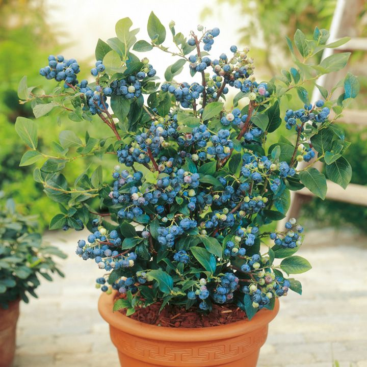 Container blueberries - we love blueberries. Should try growing them this way.
