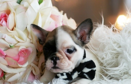 Teacup French Bulldog Puppy!  At Orchard Lake Pet Resort we strive to provide the best overnight care and grooming services for our canine clients!  Call (248) 372-7000 or visit our website www.orchardlakepetresort.com for more information about the services we provide!