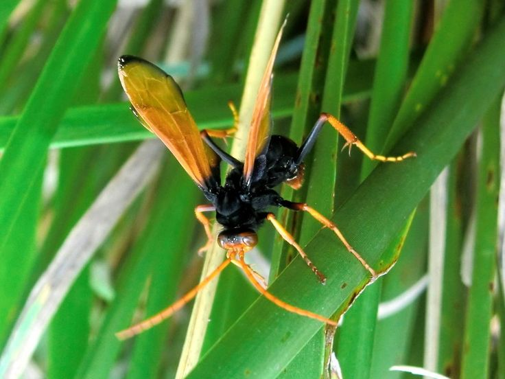 """Spider-hunting Wasp (Cryptocheilus bicolor) A menacing-looking yet magnificent wasp about 30 to 35 mm long. It was especially striking when flying. It had brilliant orange wings, antennae, frons on head and tibiae and tarsi. There was also an orange band on an abdominal segment. The black was so deep on a """"muscular"""" thorax and first few segments of abdomen. The femurs were also black as were the base of the wings. Eyes were red.<br /> Spotted on Gahnia (native sword grass) in a par..."""