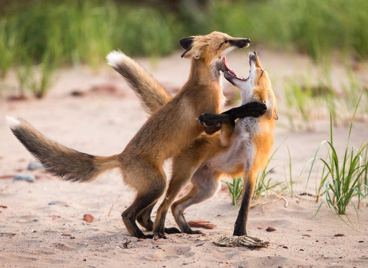 Foxes tussle over a crab on Cavendish Beach in PEI National Park. This image was captured just before sunset in July.  Location: Cavendish Beach, Prince Edward Island Submitted by: Matthew S.
